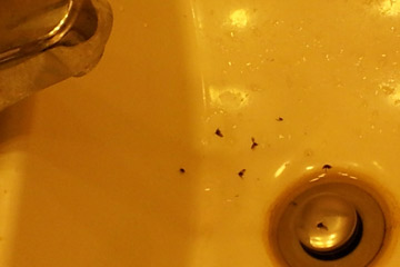 fruit flies in kitchen sink drain drain flies how to drain flies 8291